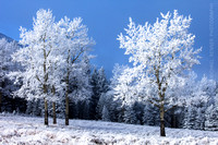 Aspen trees coated by hoar frost